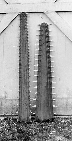 Comparison of smalltooth sawfish saw on left and largetooth sawfish saw on right.