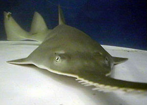 Green sawfish. Photo courtesy Shedd Aquarium