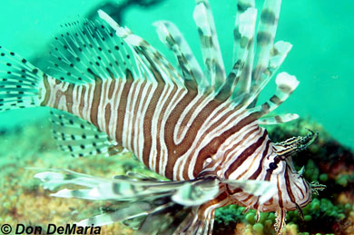 Red Lionfish. Photo © Don DeMaria