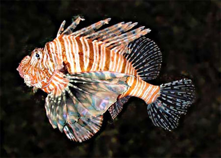 Red lionfish. Photo courtesy National Park Service