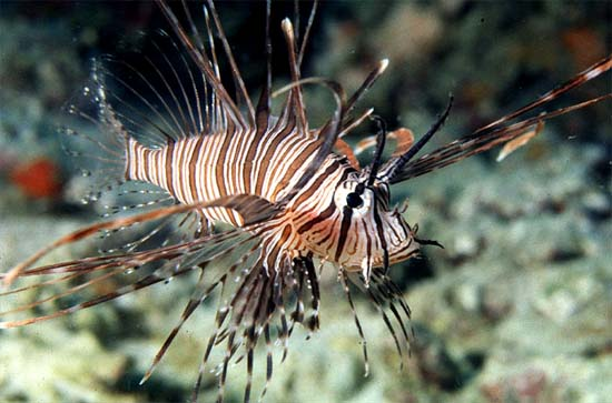 Red lionfish is a member of the scorpionfish subfamily Pteroinae. Photo © George Ryschkewitsch