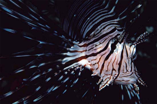 The venom of the red lionfish may be delivered by spines of the fins. Photo © Steve Jones
