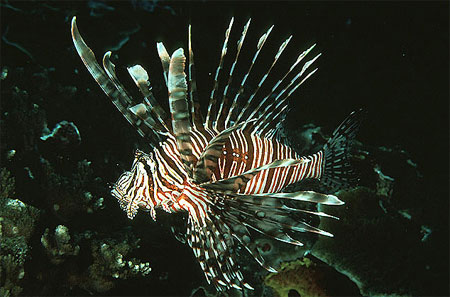 Red lionfish are banded in red and white. Photo courtesy U.S. Geological Survey