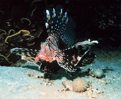 Red lionfish. Photo courtesy NOAA