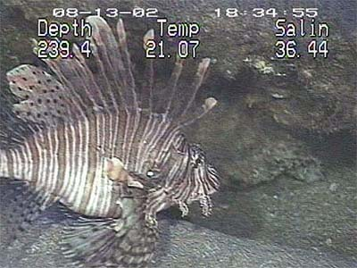 Non-native red lionfish (Pterois volitans) photographed over the Outer Shelf Reefs off Cape Fear, NC. Photo courtesy NOAA