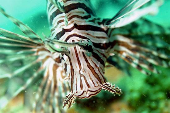 Non-native red lionfish (Pterois volitans) photographed off Jacksonville, Florida. Photo © Don DeMaria