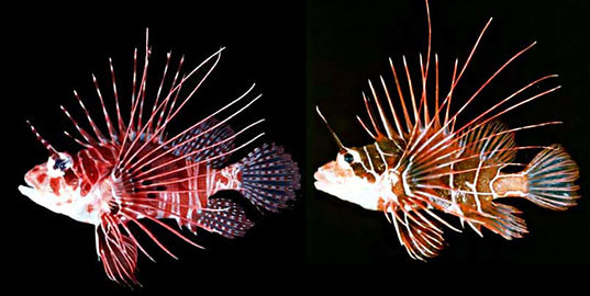 Spotfin lionfish (P. antennata) and radial firefish (P. radiata). Photos courtesy National Park Service