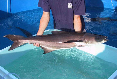 Cobia. Photo courtesy NOAA