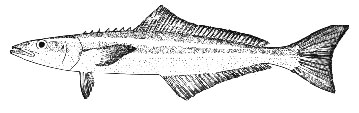 Profile of a cobia, notice the sharp dorsal spines. Image courtesy NOAA