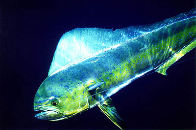 Dolphinfish are known predators of immature swordfish. Photo © Don DeMaria