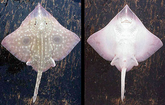 Dorsal and ventral views of the big skate. Photo courtesy NOAA
