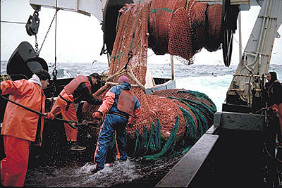 Big skates are often taken as incidental bycatch by trawlers. Photo courtesy NOAA