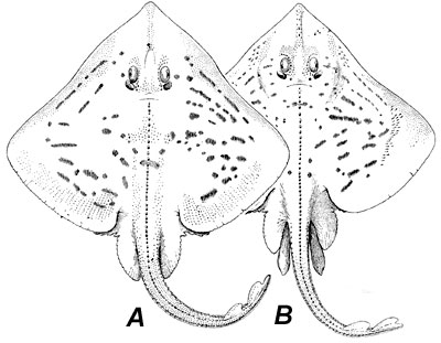 A. Female clearnose skate, B. Male clearnose skate. Image courtesy Fishes of the Western North Atlantic, 1948