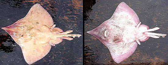 Dorsal and ventral views of a male longnose skate. Photo courtesy NOAA