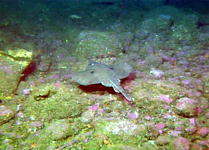 Longnose skate swimming along the bottom. Photo courtesy NOAA