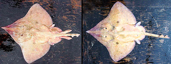 Longnose skate: male and female. Photo courtesy NOAA