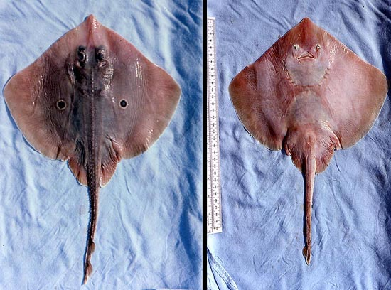 Dorsal and ventral views of the roundel skate. Photo © George Burgess