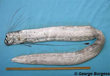 Oarfish. Photo © George Burgess