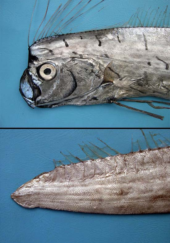 Oarfish head and caudal tip. Photo © George Burgess