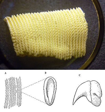 Whale shark dentition (top, Photo © Cathleen Bester), and (bottom) A) Portion of upper dentary band (about 2.5x), B) top and C) lateral view of a single upper tooth (about 9x). Illustrations courtesy Bigelow & Schroeder,1948, FNWA