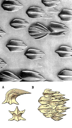 Dermal denticles from in front of and a bit below the first dorsal fin (top), Illustrations A) Lateral and apical views of dermal denticle (about 75x), B) dermal denticles (about 35x) Images courtesy Garrick (Proceedings U.S. National Museum). Illustrations, and Bigelow & Schroeder, 1948, FNWA