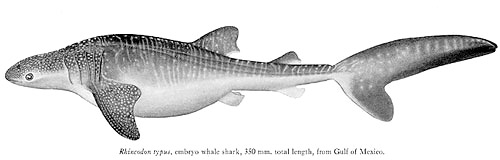 Whale shark embryo, 350 mm, from the Gulf of Mexico courtesy Garrick (Proceedings U.S. National Museum)