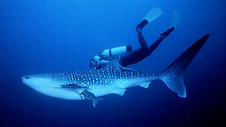 A diver swims along with a juvenile whale shark. Photo © Jeff Trotta