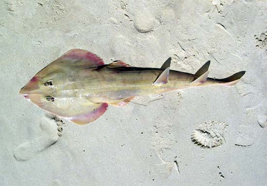 Common guitarfish. Photo © George Burgess