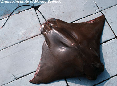 Cownose ray. Photo courtesy Virginia Institute of Marine Science