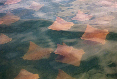Migrating cownose rays. Photo ©Tobey Curtis