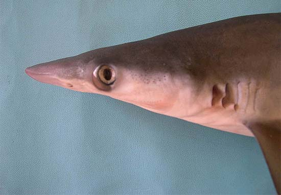 Milk sharks have narrow snouts and large eyes. Photo © George Burgess