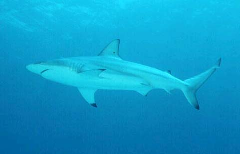 Blacktip sharks are among the predators of the milk shark. Photo © Doug Snyder
