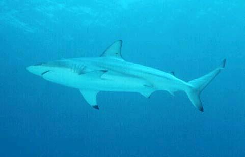 Blacktip sharks are among the predators of the milk shark. Photo © Doug Snyder