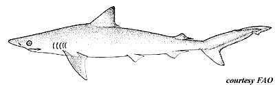 Caribbean sharpnose Shark. Image courtesy FAO Species Catalog, Vol. 4 Part 2 Sharks of the World