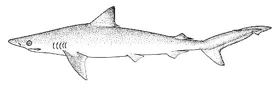 Caribbean sharpnose shark illustration, courtesy FAO Species Catalog, Vol. 4 Part 2 Sharks of the World
