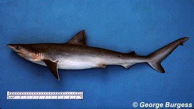Atlantic sharpnose shark. Image © George Burgess