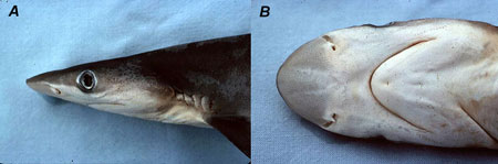 Atlantic sharpnose shark: A) head, B) ventral view of mouth and snout. Image © George Burgess