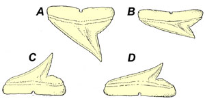 Teeth: A. Fourth upper tooth, B. Tenth upper tooth, C. Fourth lower tooth, D. Eighth lower tooth. Image courtesy (modified) from Bigelow & Schroeder (1948) FWNA
