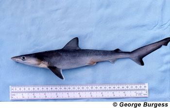 Atlantic sharpnose shark juvenile. Image © George Burgess