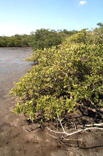 Mangrove habitat. Photo courtesy U.S. Geological Survey