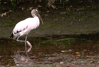 The wood stork is a predator of the mangrove rivulus. Photo © Gerald and Buff Corsi, California Academy of Sciences