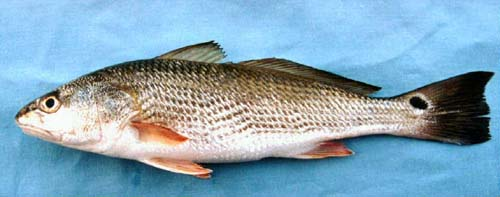 Red drum. Photo courtesy U.S. Geological Survey