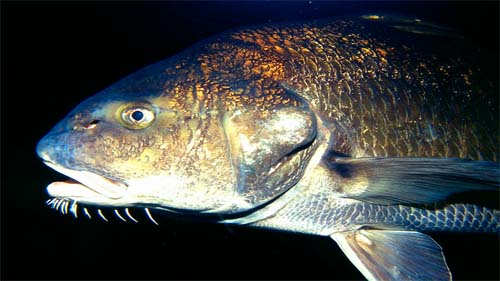 Black drum can be distinguished from the red drum by the presence of barbels. Photo © Richard Bejarano