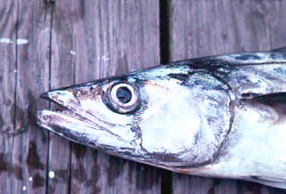 King mackerel up close. Photo © George Burgess