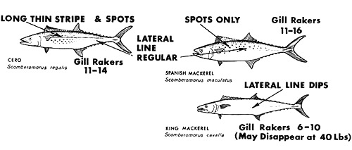 Distinguishing features of the cero, king mackerel, and spanish mackerel. Image courtesy National Marine Fisheries Service