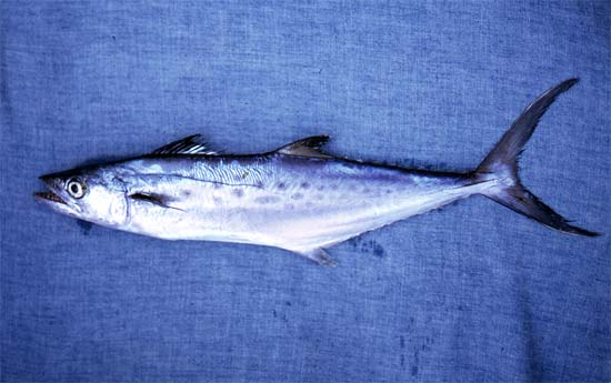Spanish mackerel. Photo © George Burgess