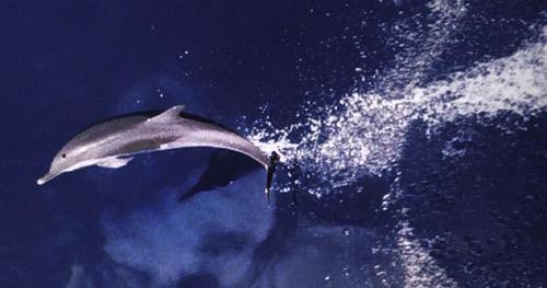 Predators of the cero mackerel include bottlenose dolphin. Image courtesy NOAA