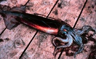 Squid - prey item of the cero mackerel. Photo courtesy NOAA