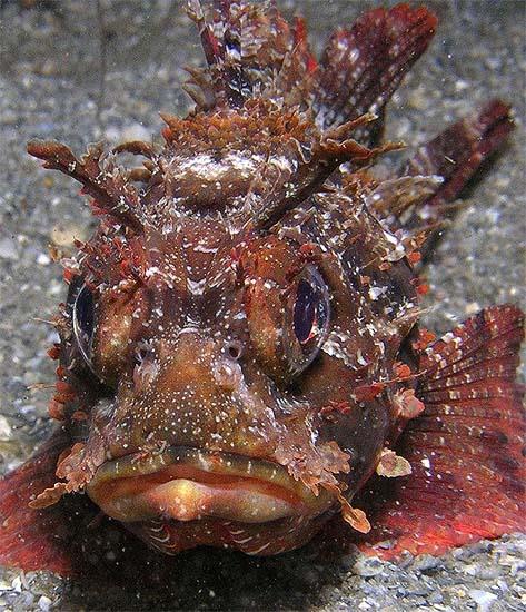 Barbfish. Photo © Anne DuPont