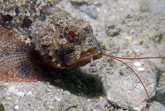 Barbfish feeding on a shrimp. Photo © Anne DuPont